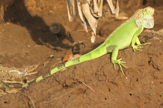Green iguana, 25 March 2014