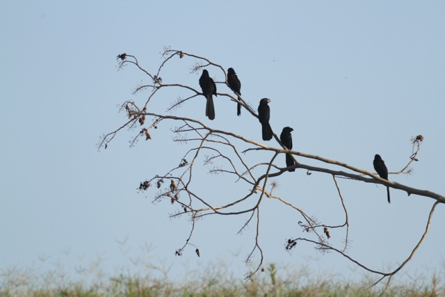 Groove-billed anis flock, 25 March 2014