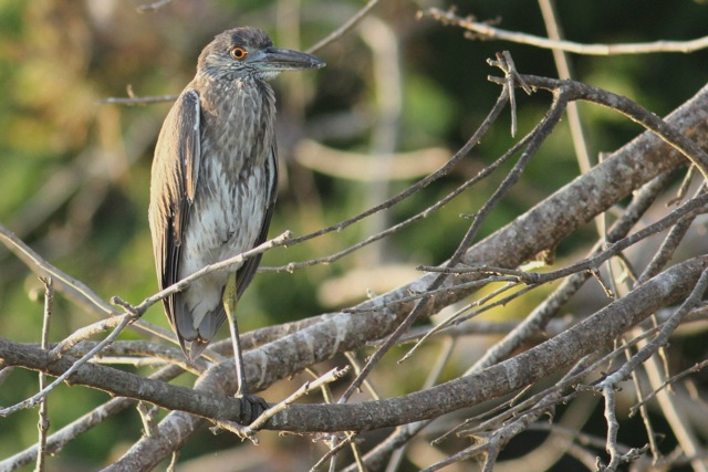 Yellow-crowned night heron juvenile, 25 March 2014