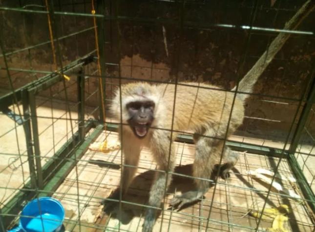 monkey muranga